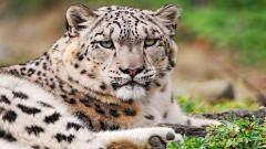 Snow Leopard Pictures 30583