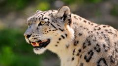 Snow Leopard Wallpaper 30588