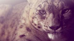 Snow Leopard Wallpapers 30579
