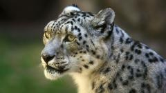 Snow Leopard Wallpapers 30587
