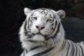 White Tiger 3754