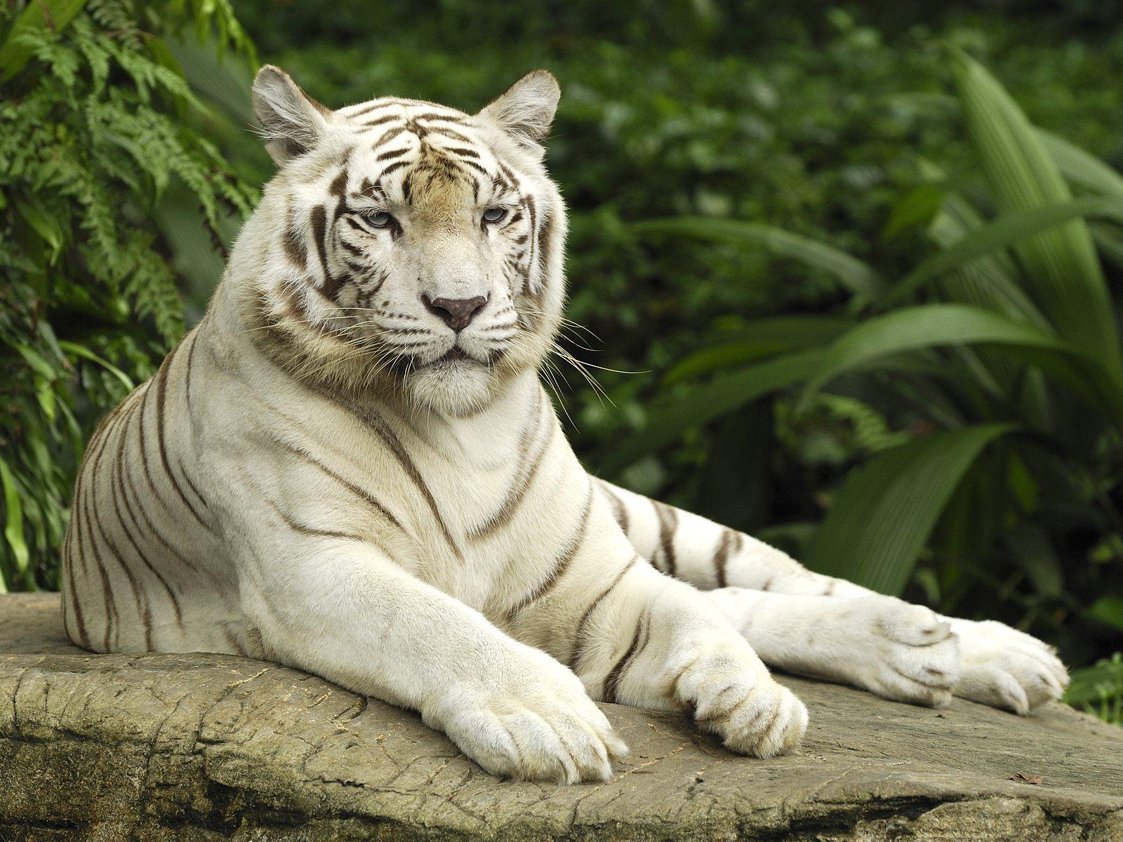 white tiger 3753