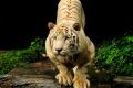 Tiger Wallpaper 4021