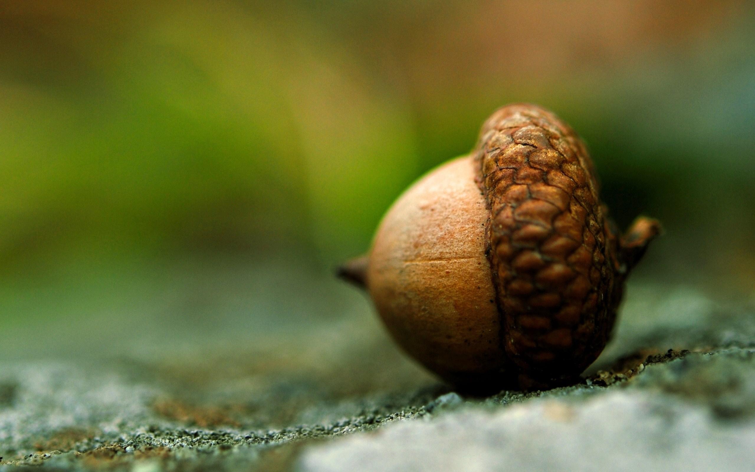 acorn wallpaper 23360