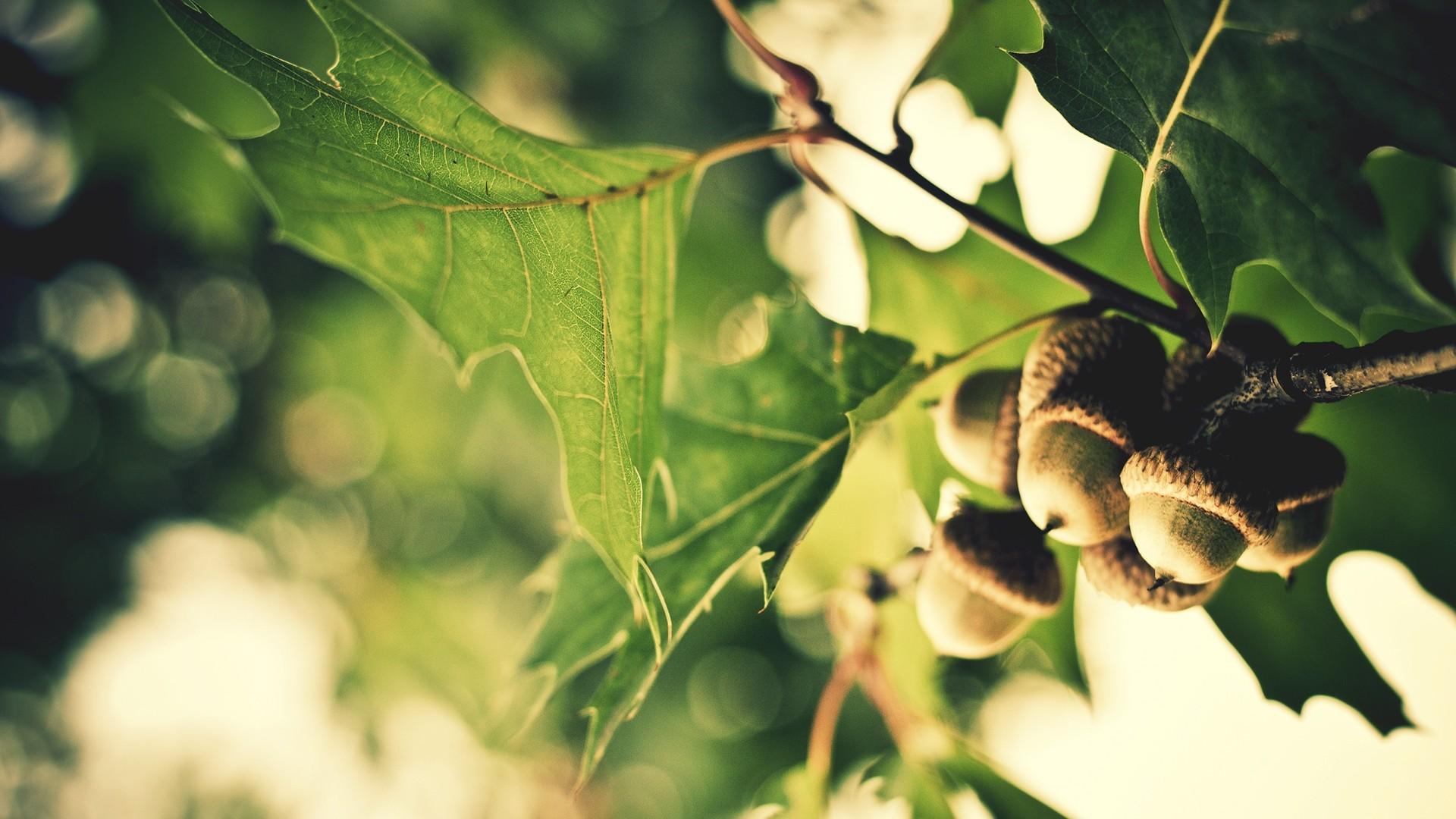 acorn wallpaper 23364