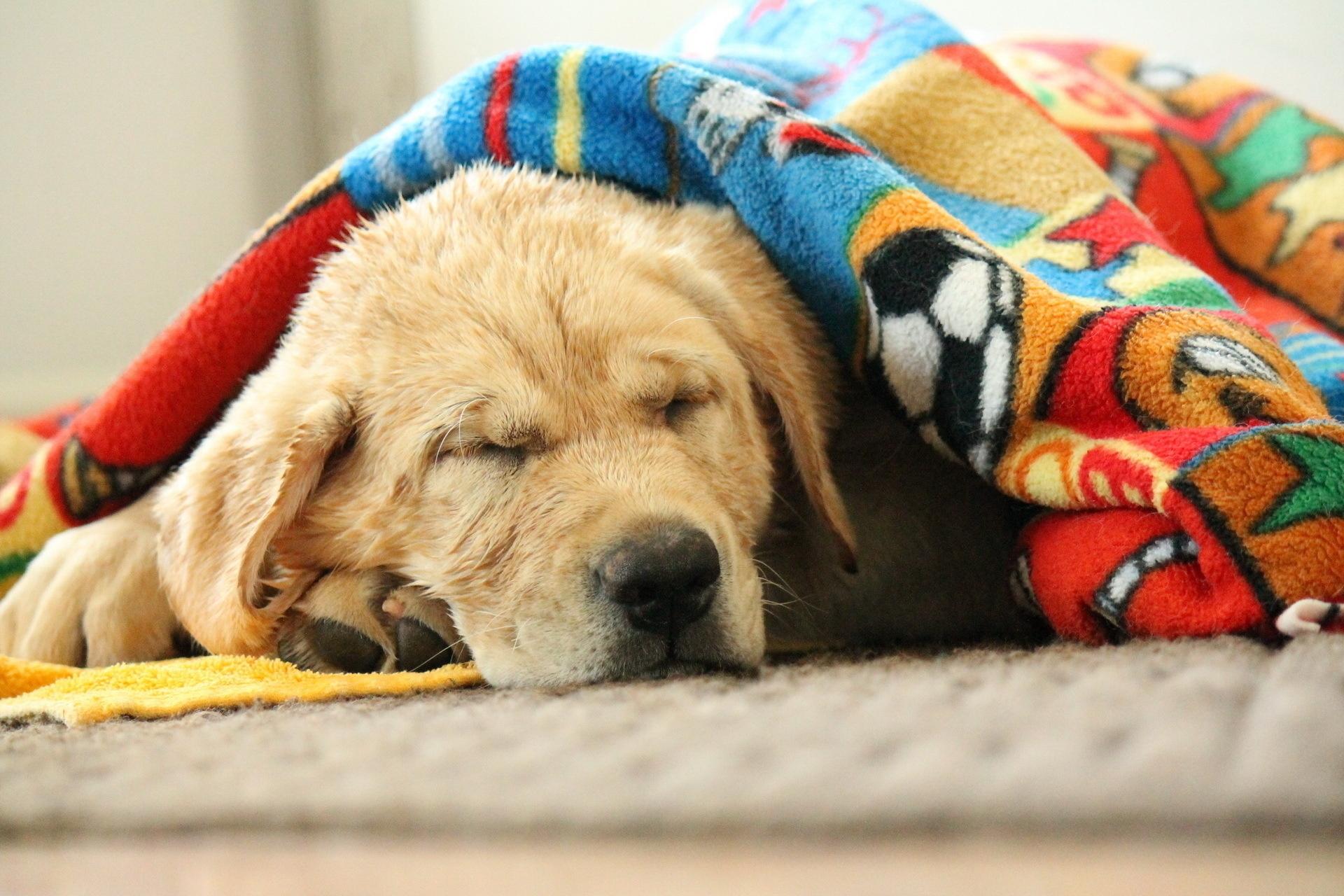 adorable labrador dog under blankets wallpaper 44492