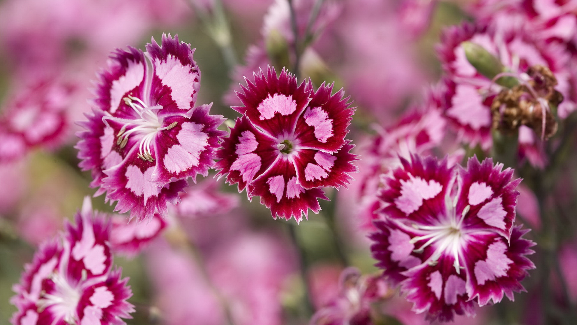 amazing pink flowers 40052