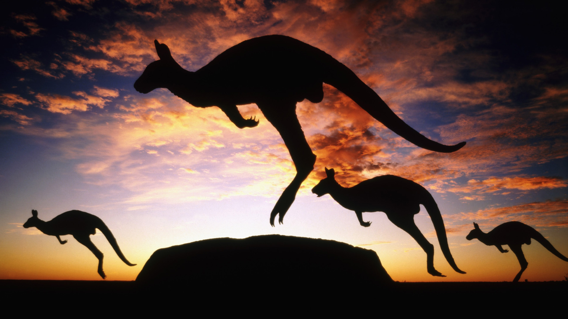 awesome kangaroo wallpaper 23906