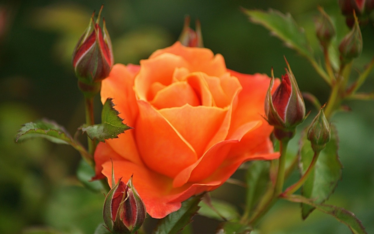 beautiful orange roses 29735