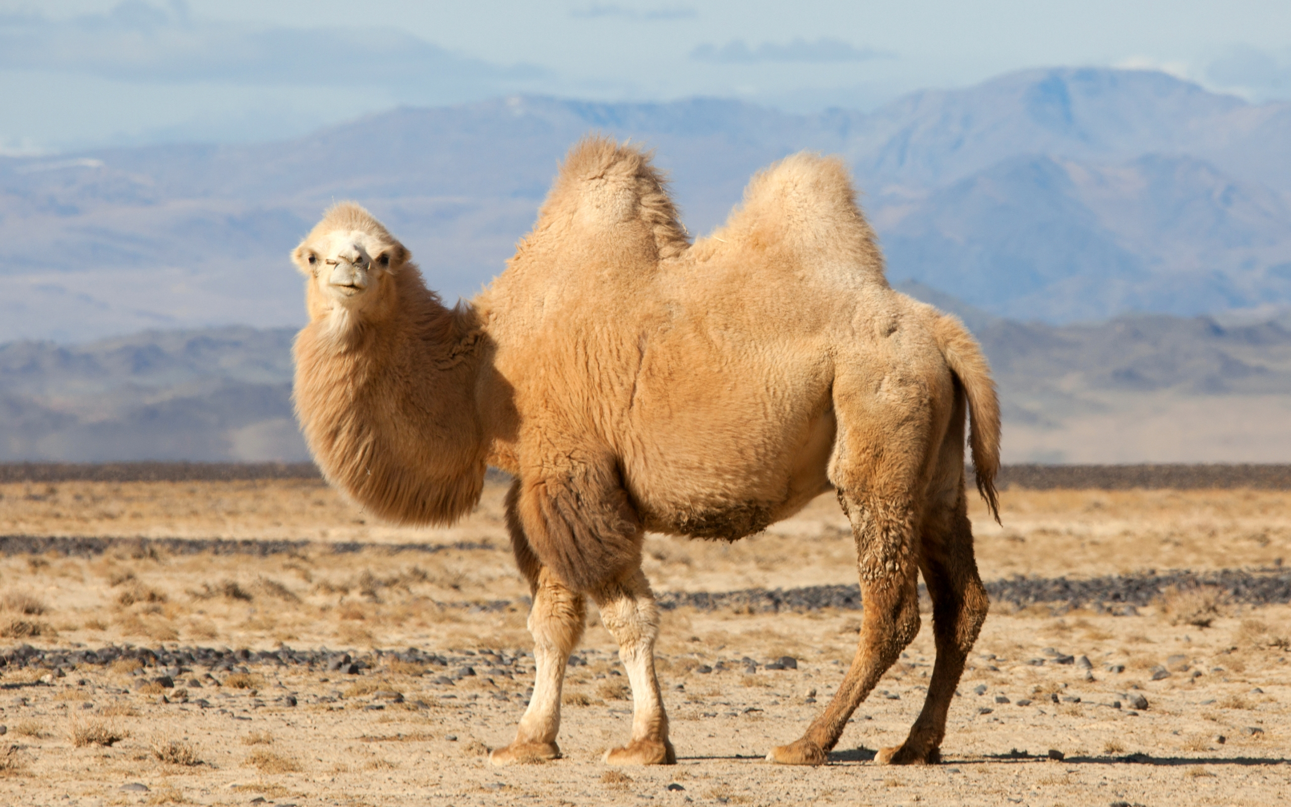 camel pictures 21150