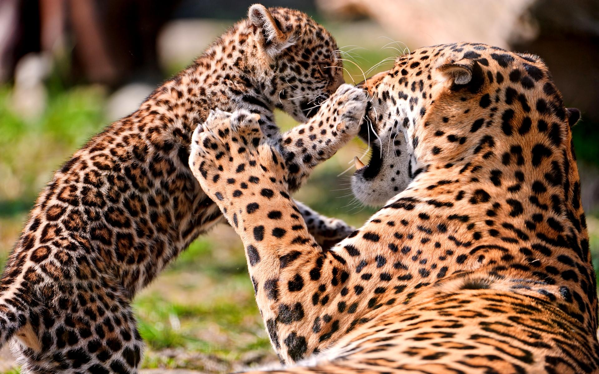 Cheetah Wallpaper 10425 1920x1200 px HDWallSourcecom