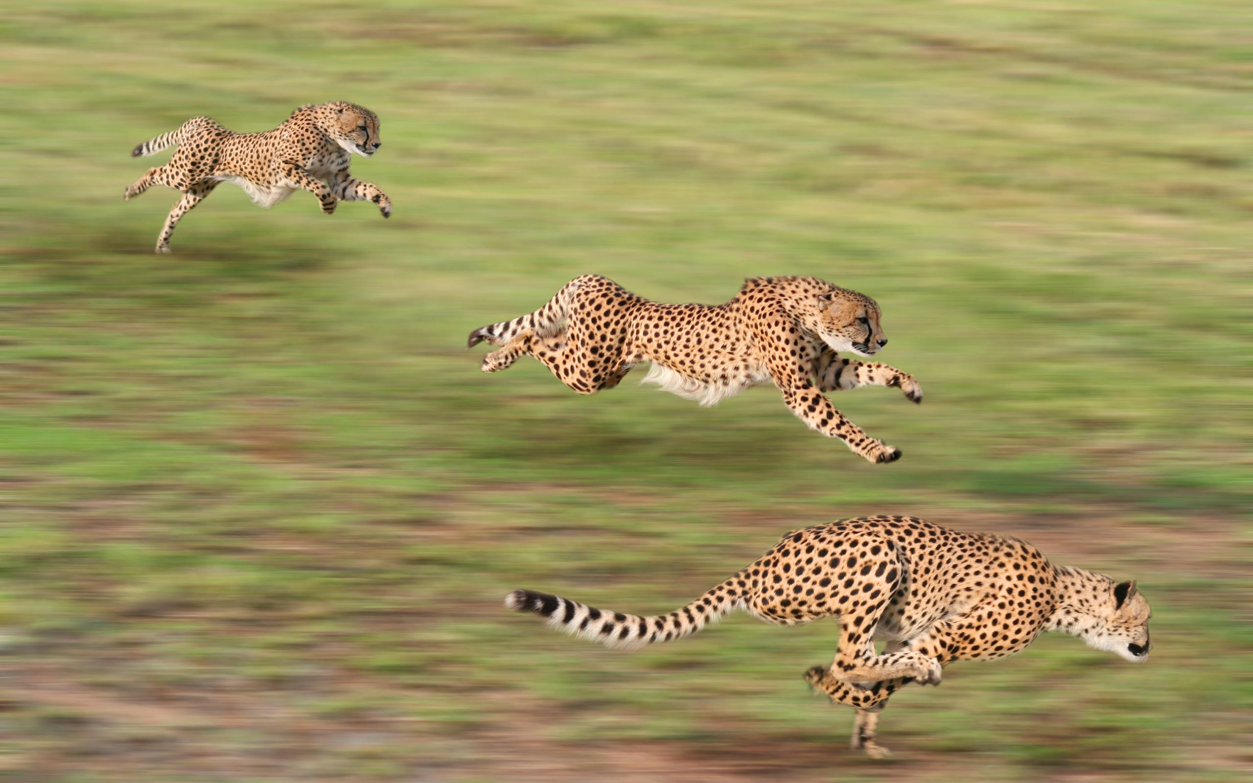 Cheetah Wallpaper 10427 2560x1600 px HDWallSourcecom