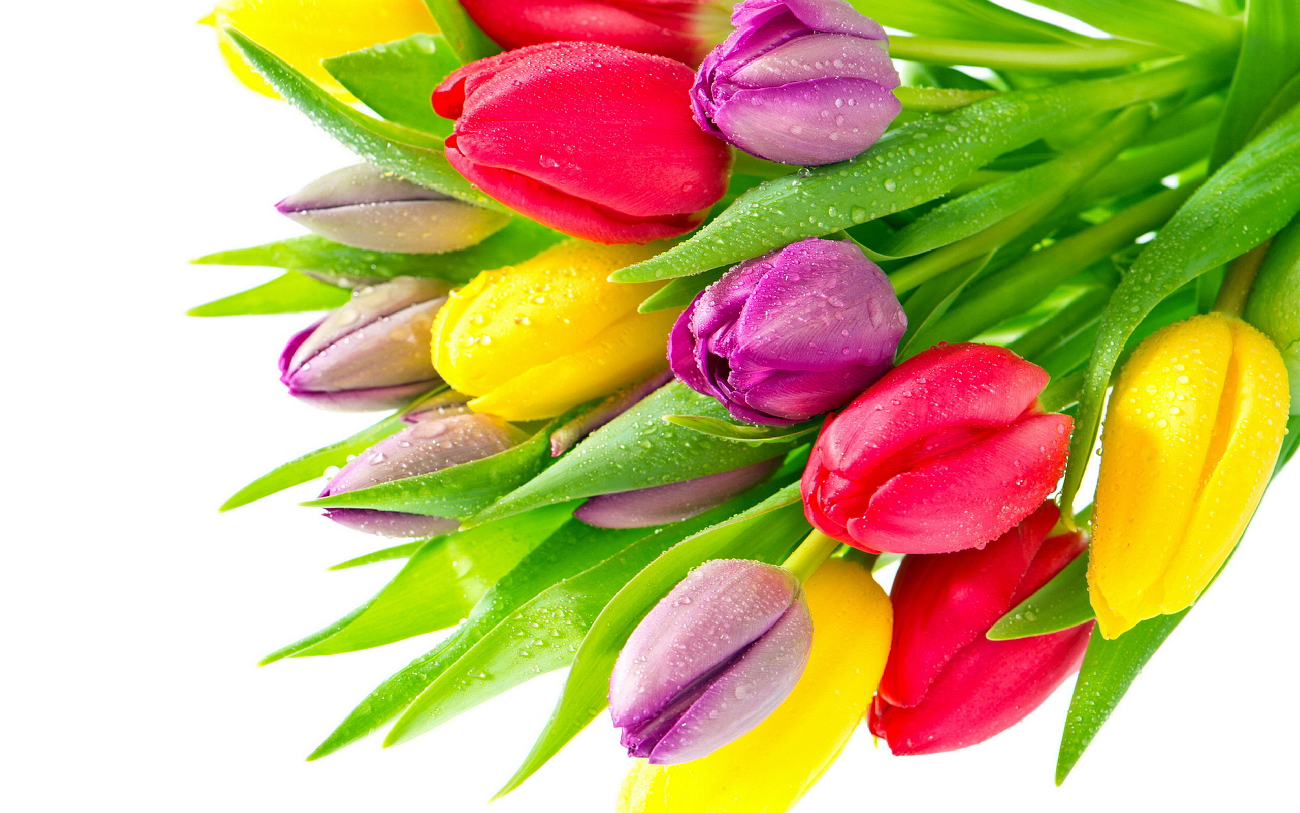 colorful tulips 44628