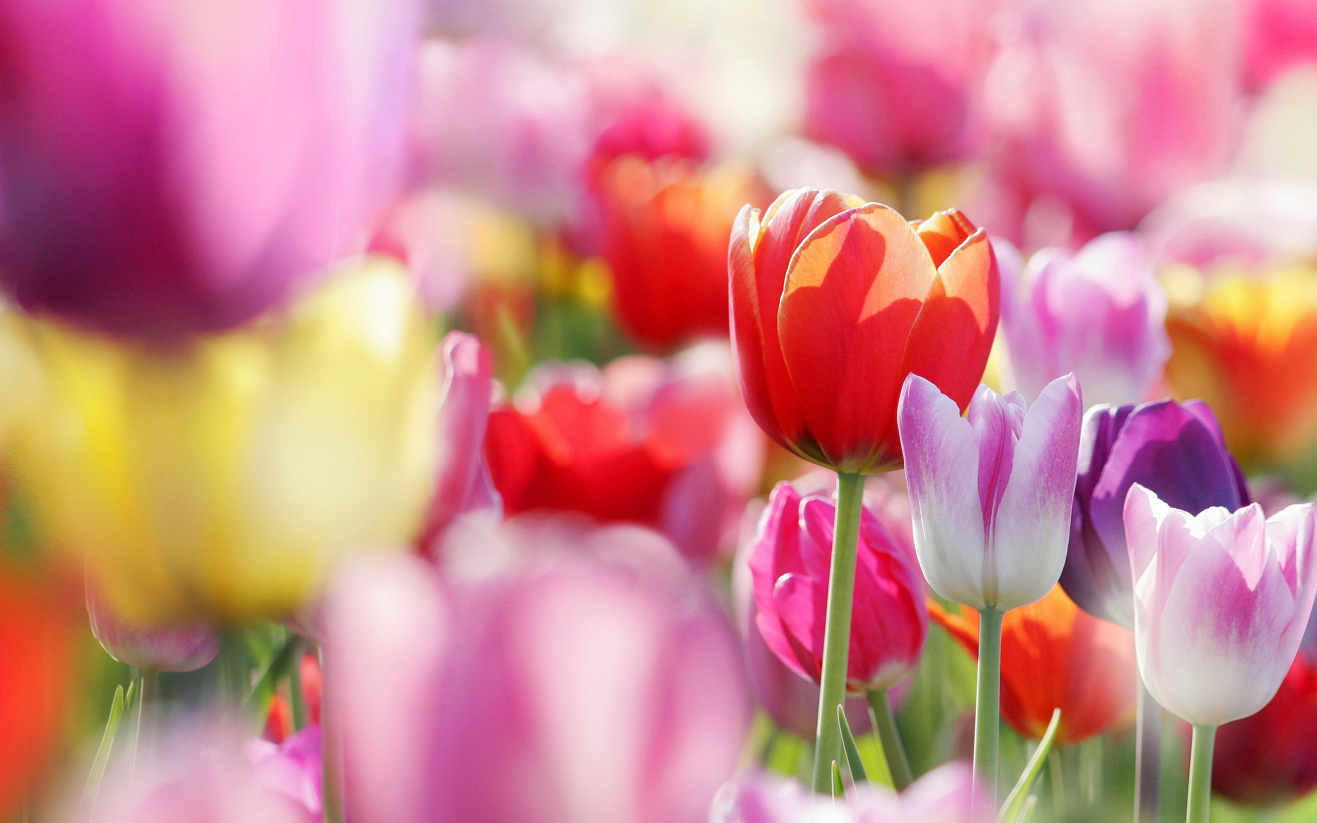 colorful tulips wallpaper 44627