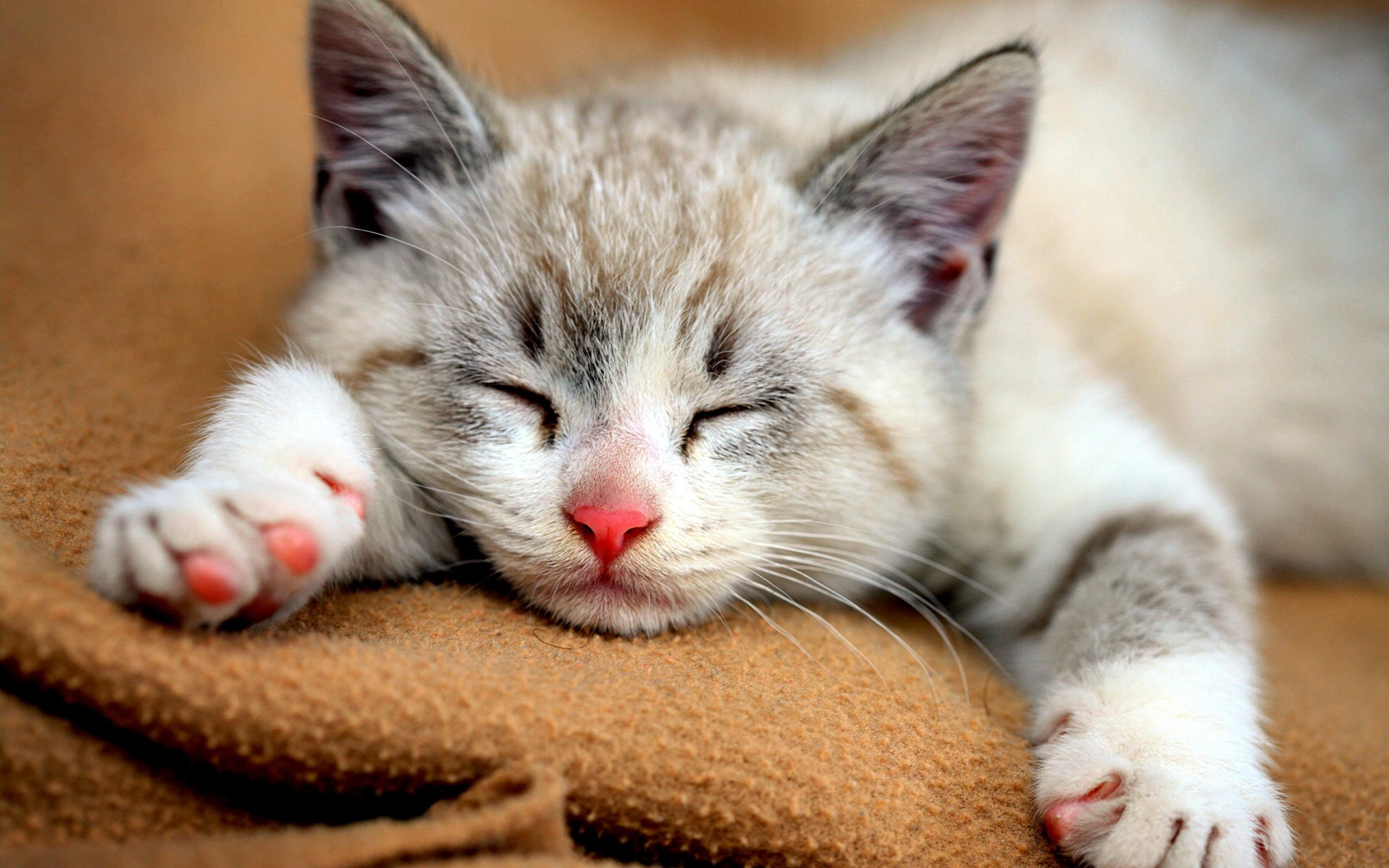 Cute Cats HD 18586 2560x1600px