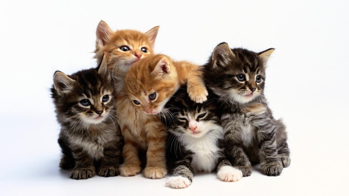 Cute cats wallpaper 18587 1366x768 px hdwallsource cute cats wallpaper 18587 voltagebd Gallery