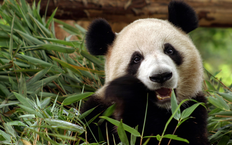 fantastic panda wallpaper 41786