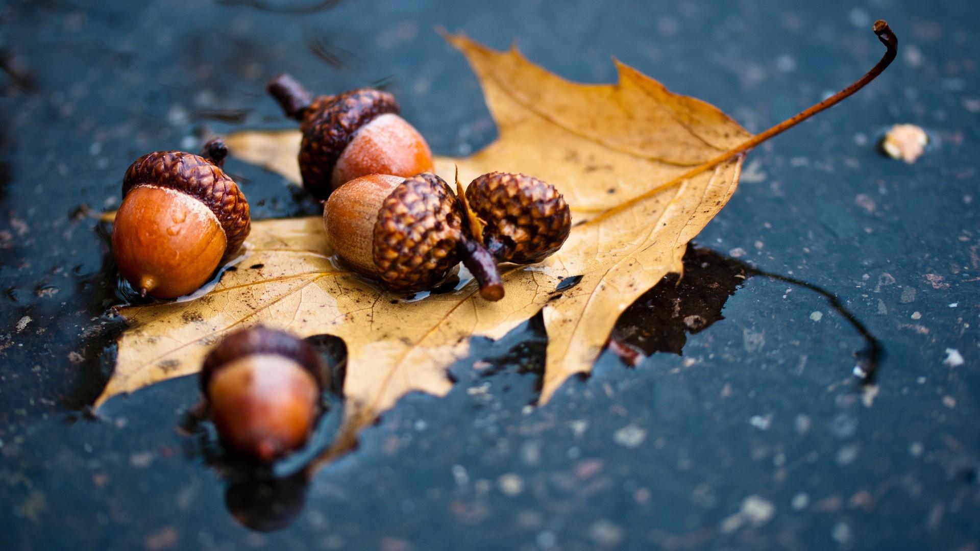 free acorn wallpaper 23362