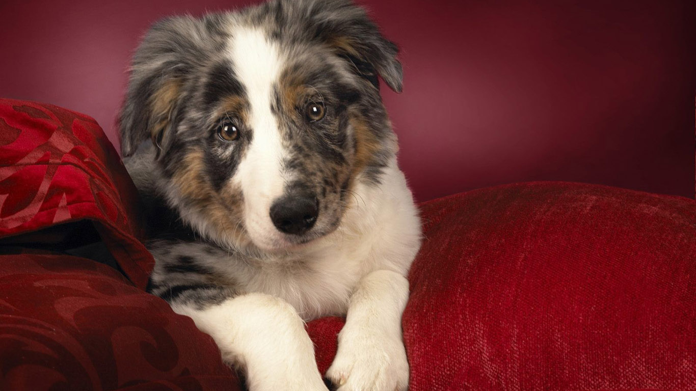 free australian shepherd wallpaper 36418