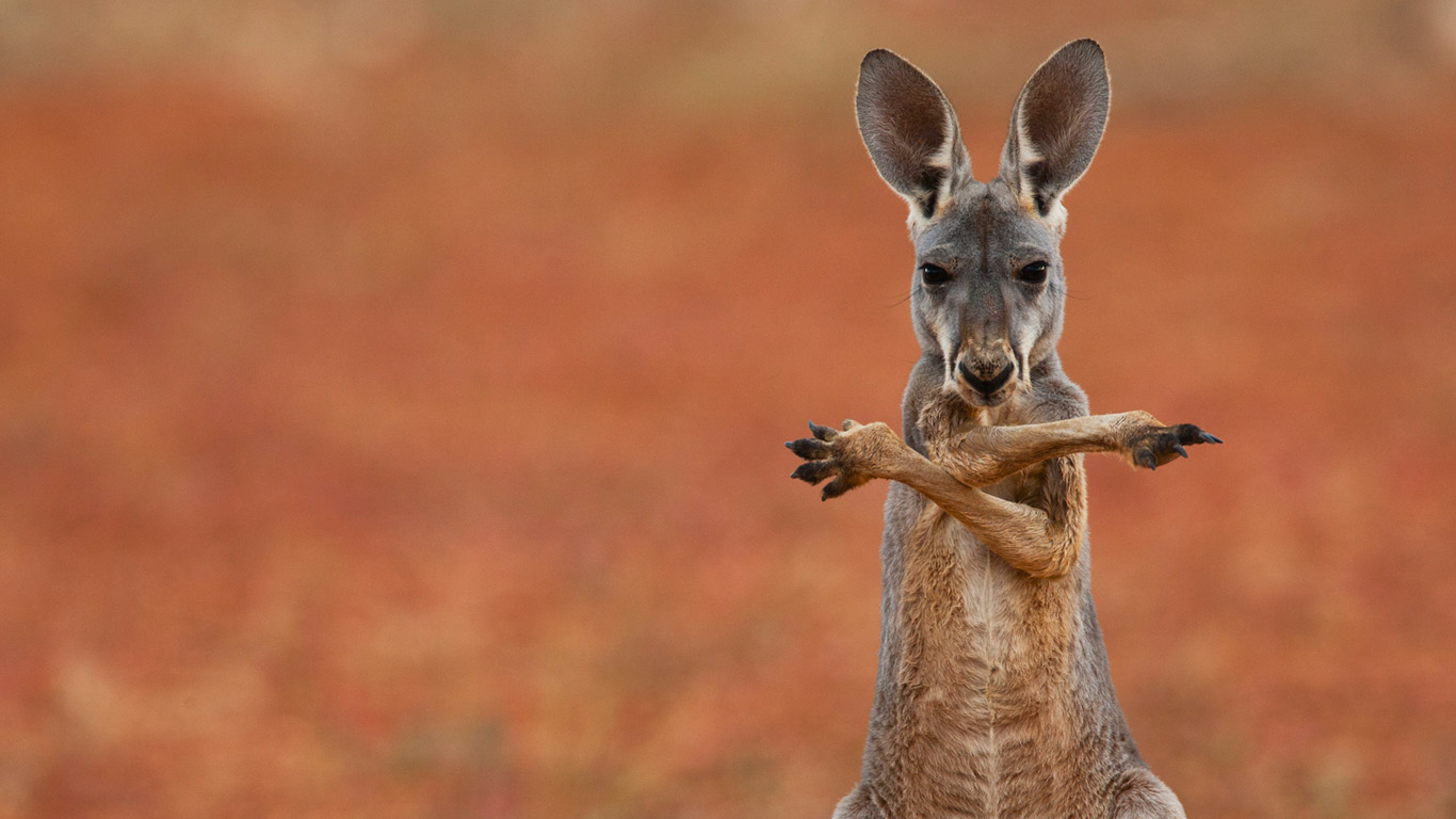 funny kangaroo wallpaper 23903