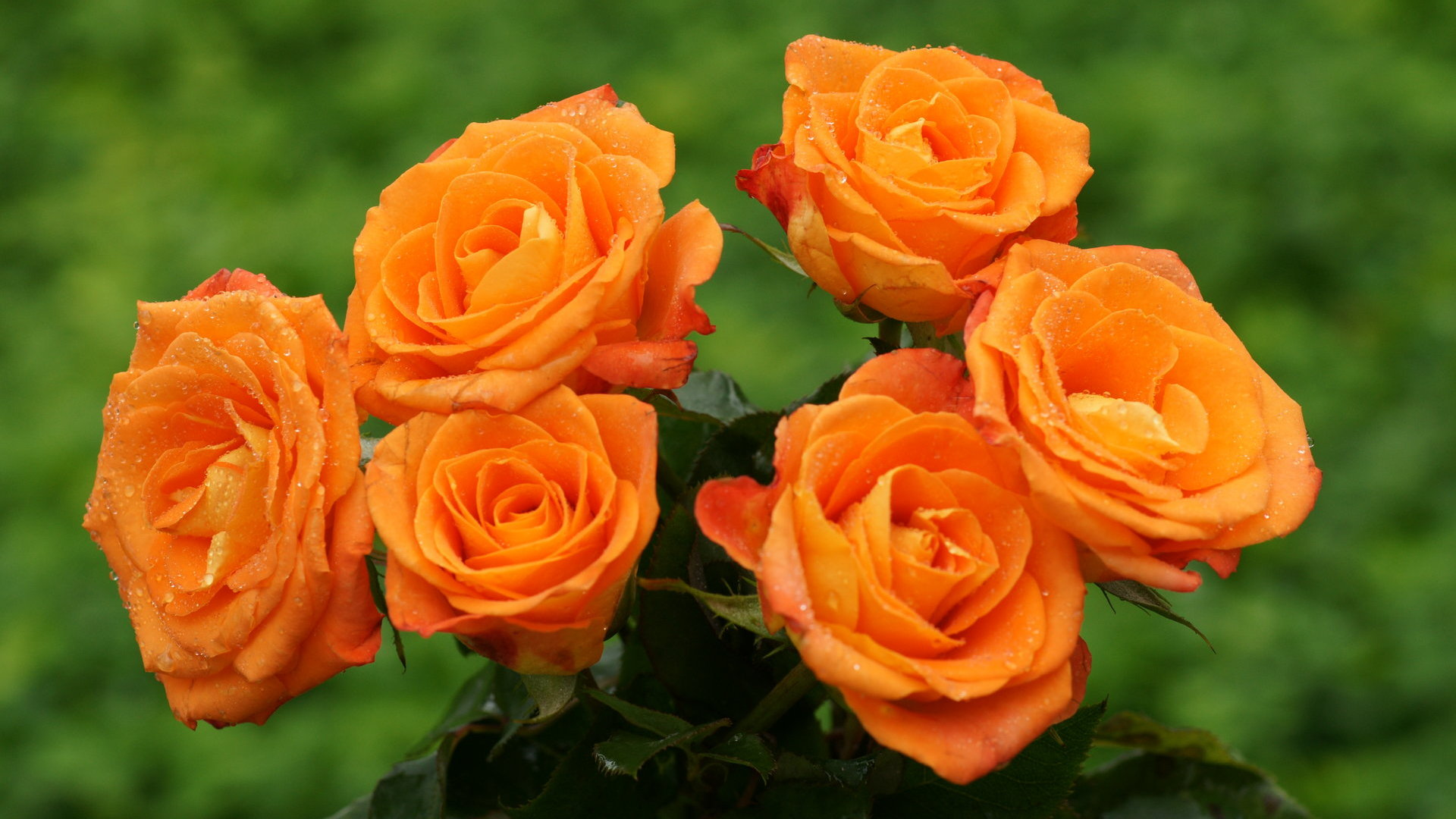 orange roses wallpaper 29738