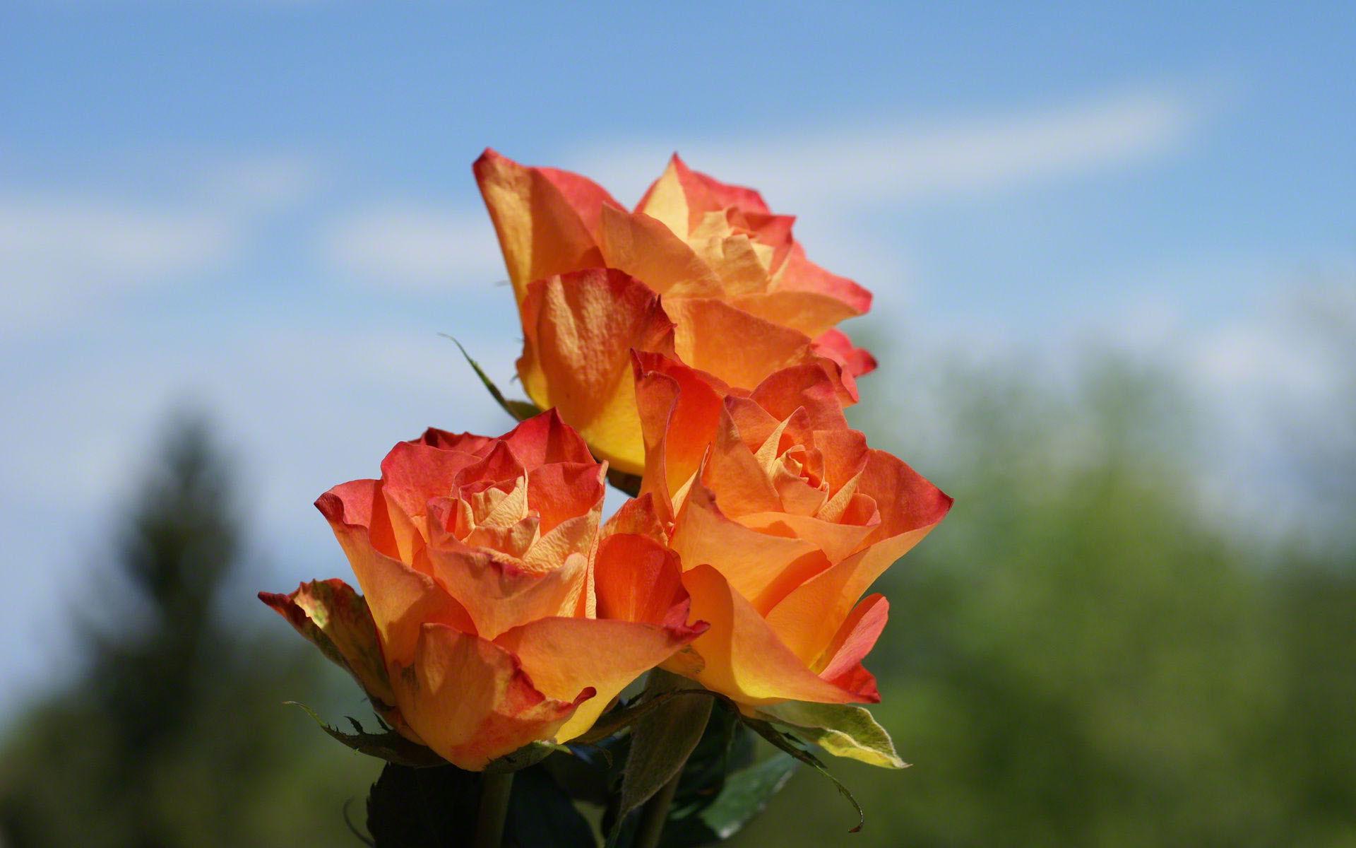 orange roses wallpaper 29745
