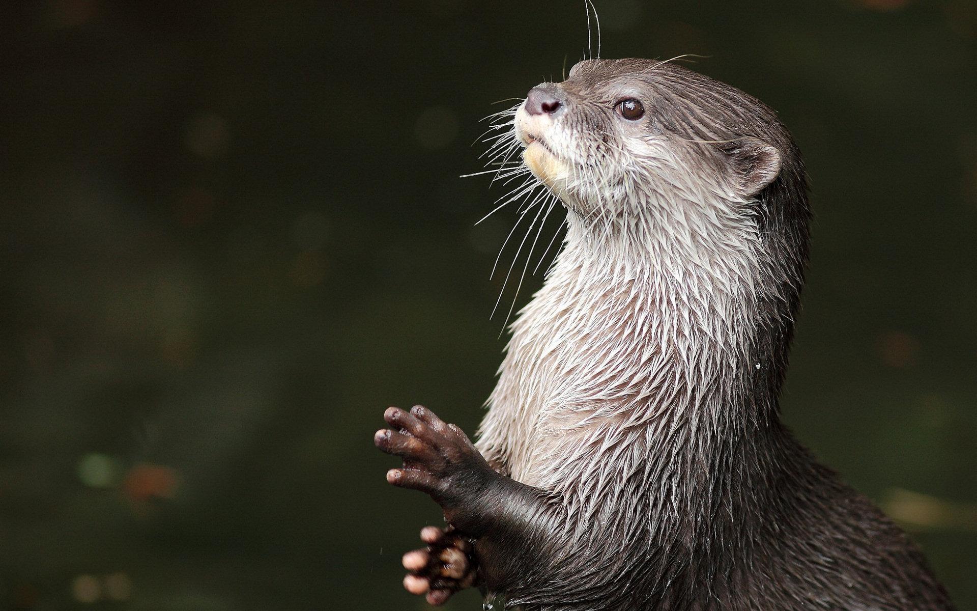 Otter Wallpaper 44527 1920x1200px