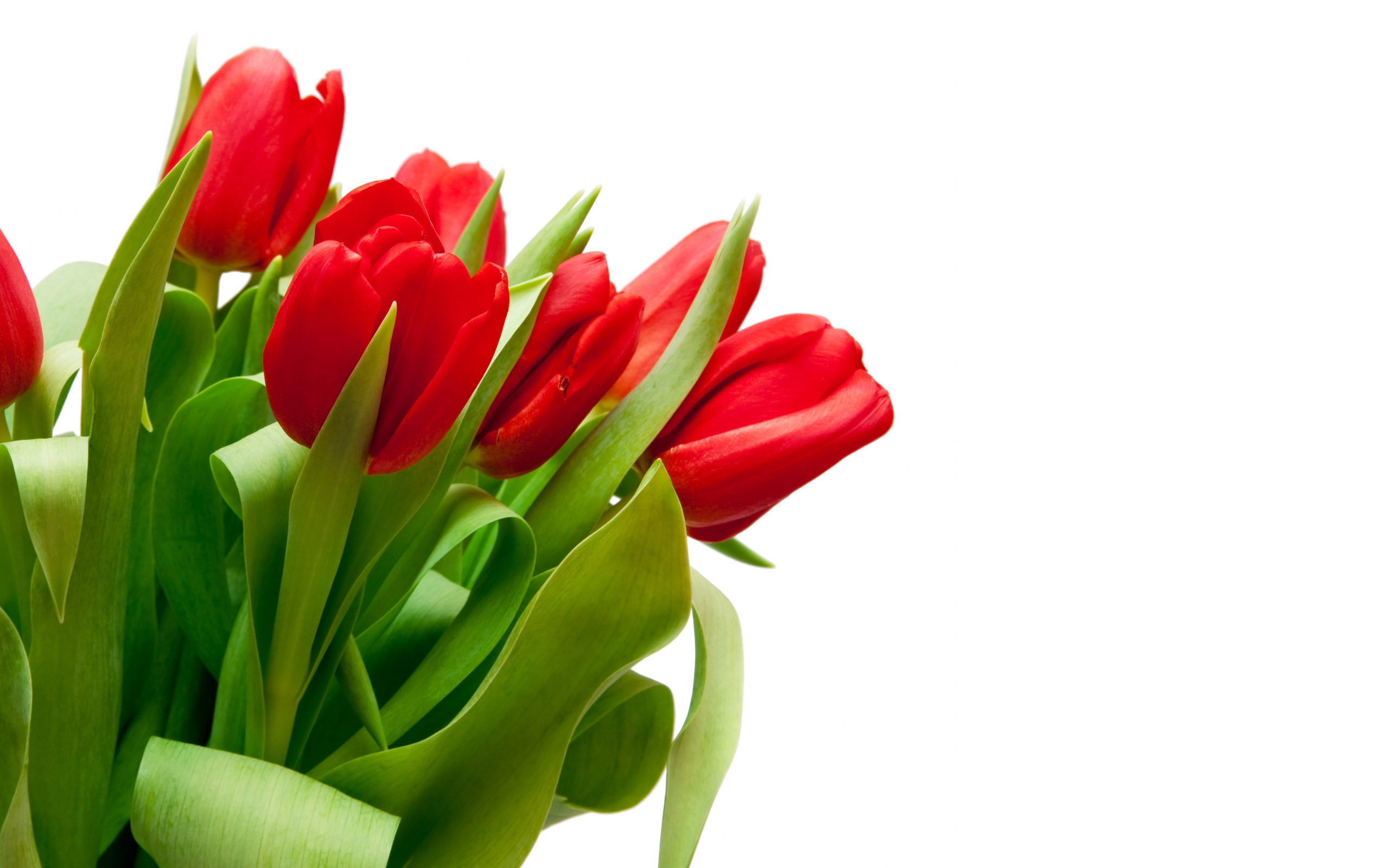 red tulips wallpaper 44629
