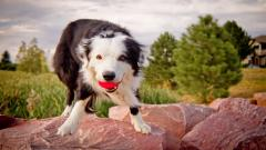 Adorable Australian Shepherd Wallpaper 36405