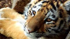 Adorable Baby Tiger Wallpaper 30501