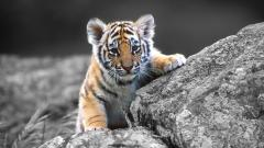 Adorable Tiger Wallpaper 32047
