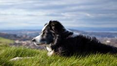 Amazing Australian Shepherd Wallpaper 36411