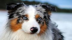 Australian Shepherd 36409
