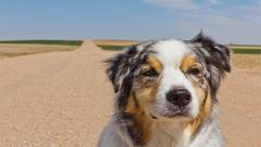 Australian Shepherd Background 36401