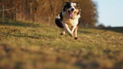 Australian Shepherd Wallpaper 36406