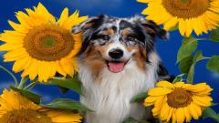Australian Shepherd Wallpaper 36412
