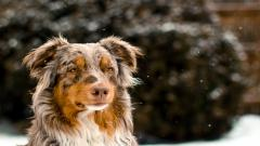 Australian Shepherd Wallpaper HD 36404