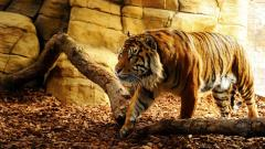 Awesome Tiger Wallpaper 32046