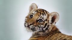 Baby Tiger 30504