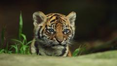Baby Tiger Pictures 30503