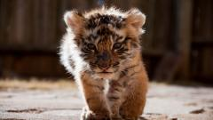 Baby Tiger Wallpaper 30498