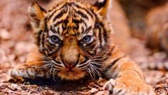 Baby Tiger Wallpaper 30500