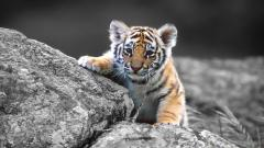 Baby Tiger Wallpaper 30502