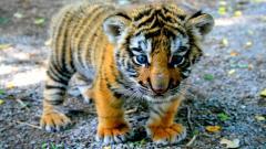 Baby Tiger Wallpaper 30505