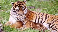 Baby Tiger Wallpapers 30507