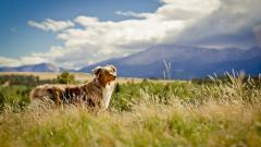Beautiful Australian Shepherd Wallpaper 36400