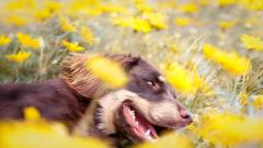 Beautiful Dog Field Wallpaper 44812