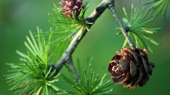 Beautiful Pinecone Wallpaper 23354