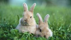 Bunny Wallpaper HD 41762