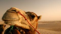 Camel Wallpaper 21145